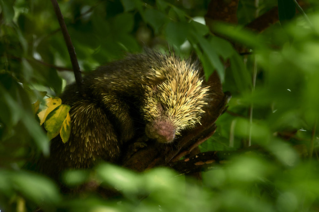 A porcupine sleeps in a tree in Costa Rica.