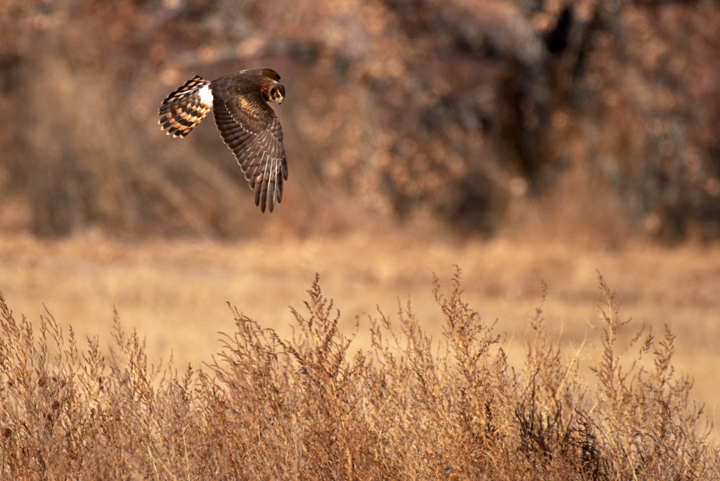 A Northern Harrier hunts for small birds.