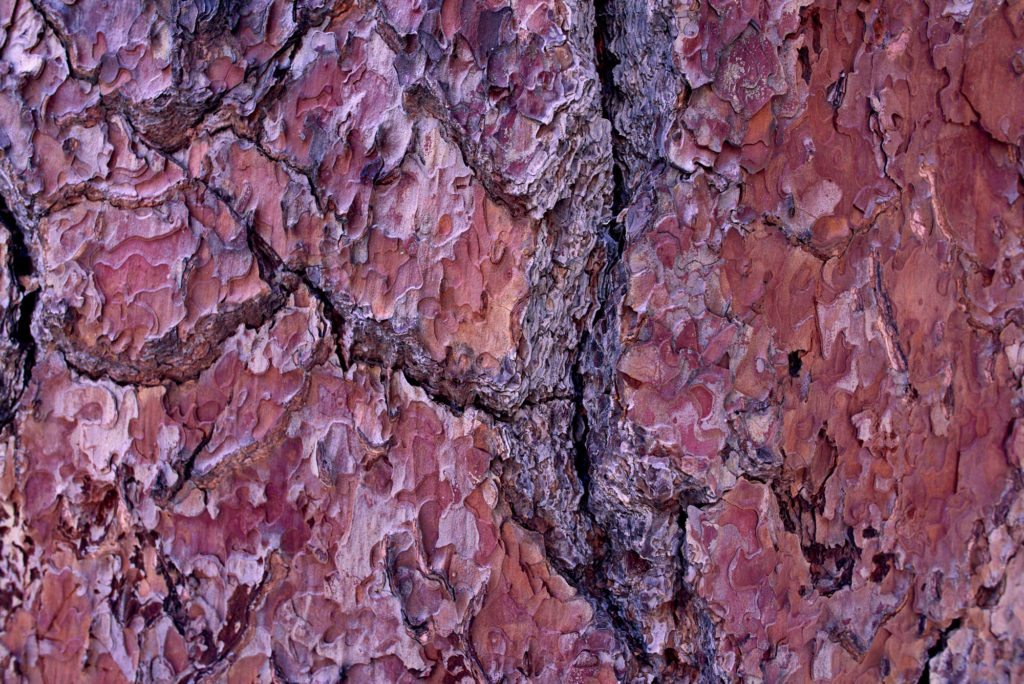 Bark on one of the pine trees.