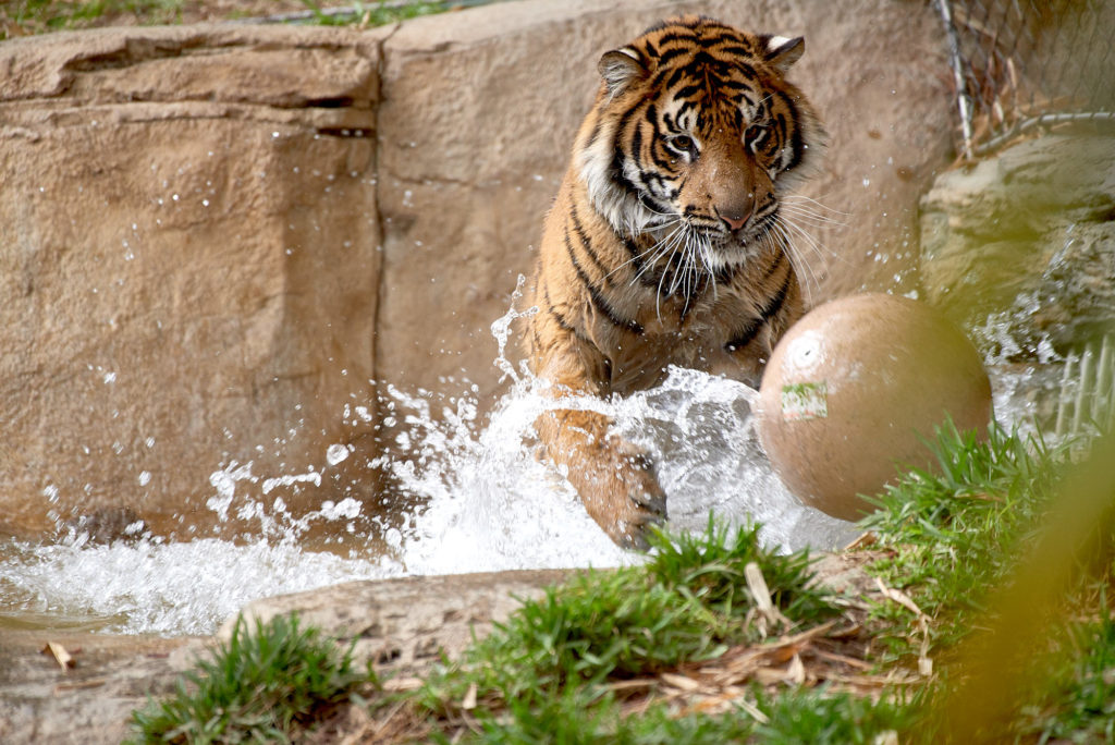 A tiger plays with a ball in a pond.
