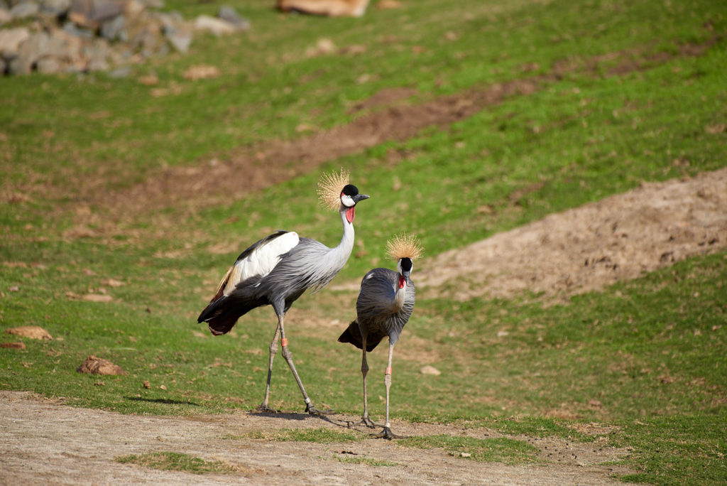 African Crowned Cranes at the Safari Park