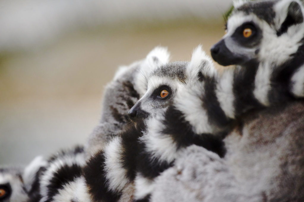 Ring tailed lemurs at the lemur walk at the San Diego Zoo Safari Park