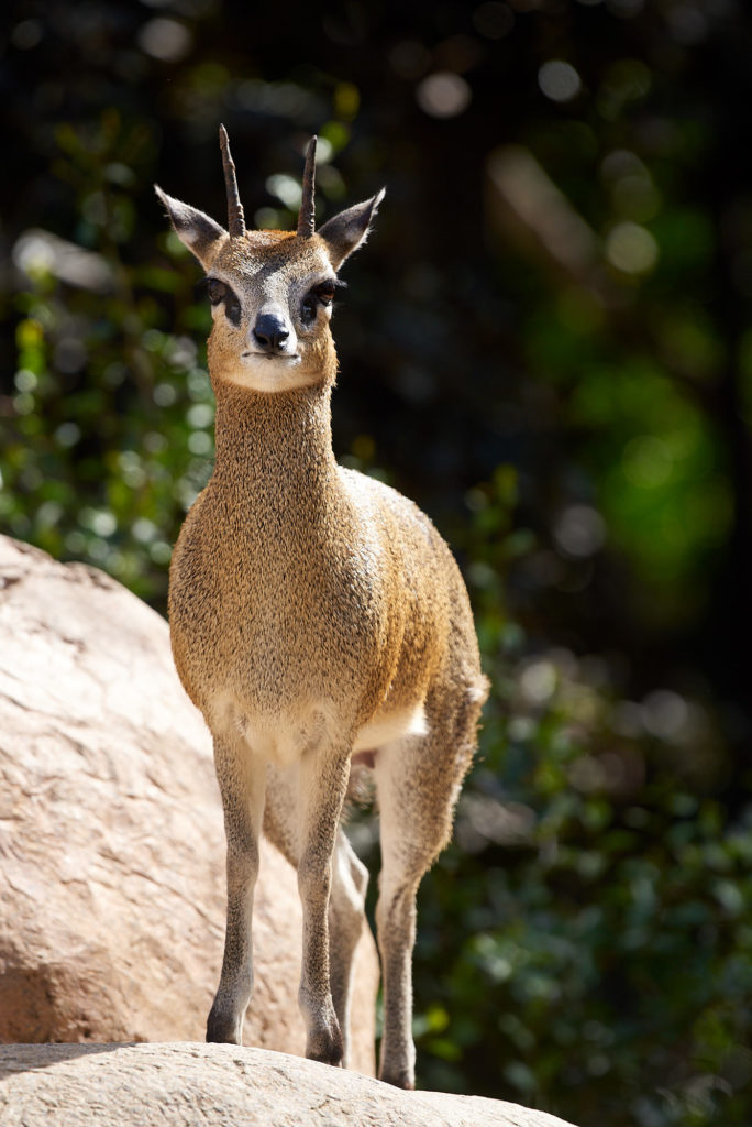 A Klipspringer watches from it's habitat at the main San Diego Zoo.