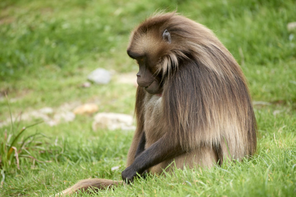 An African gelada at the main San Diego Zoo.