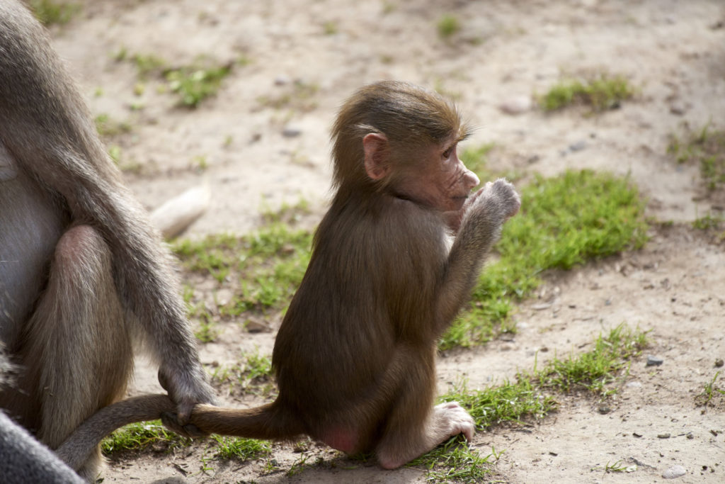 A baby hamadryas baboon at the main San Diego zoo.