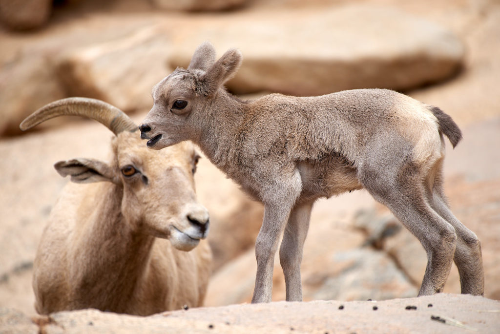 A baby big horned sheep at the Safari Park