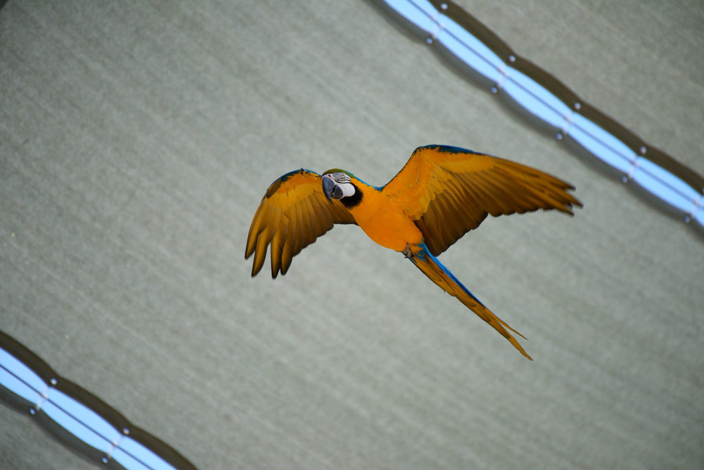 A blue-and-yellow macaw during the birds in flight encounter at the Safari Park