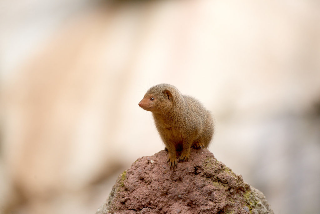 Dwarf Mongoose at the main San Diego Zoo
