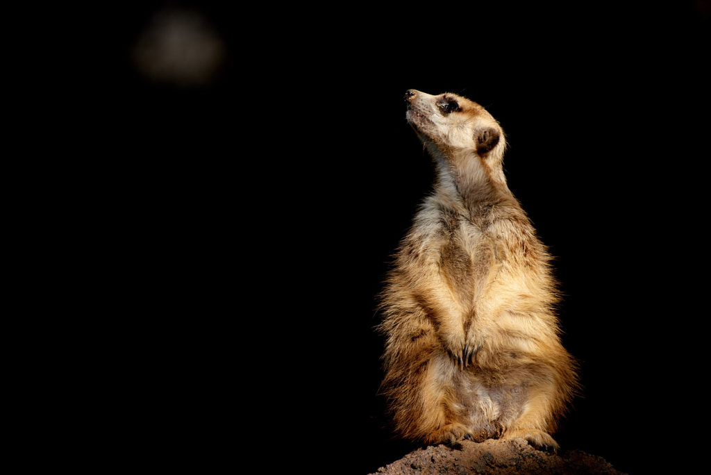 A meerkat basking in the afternoon sun at the San Diego Zoo.