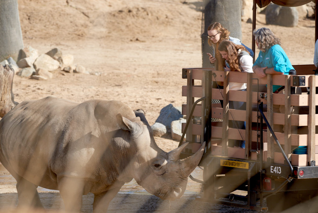 """Rhino up close to one of the """"truck safaris"""" at the Safari Park"""