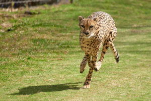 To See a Cheetah Run