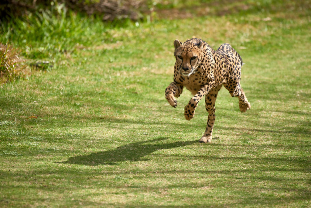 A cheetah performs a run for the crowd at the San Diego Zoo Safari Park.