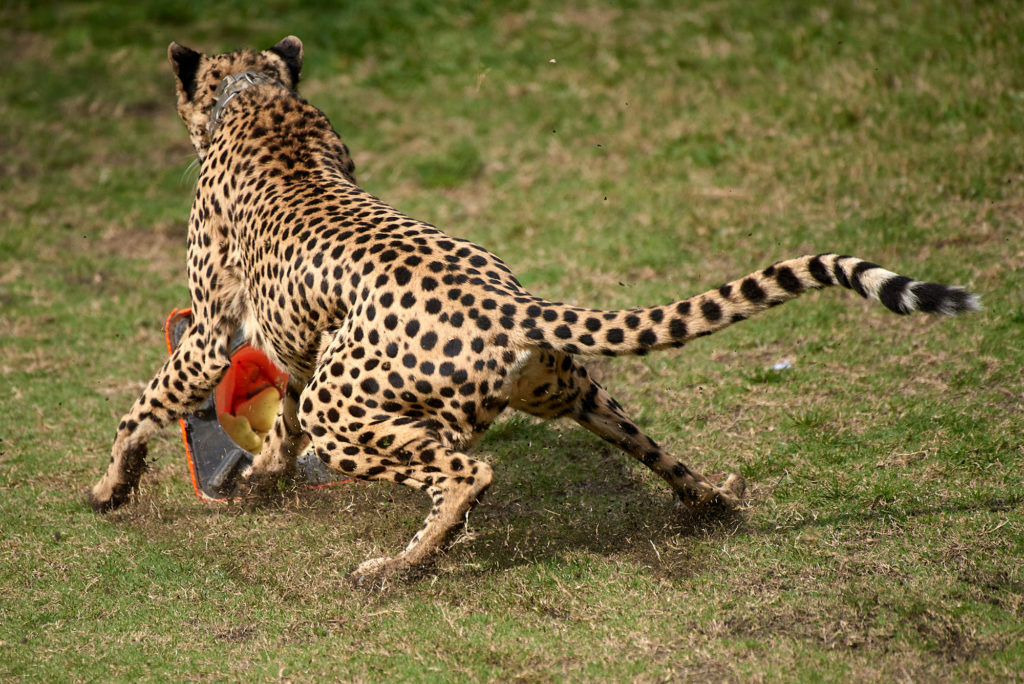 A cheetah puts on the brakes as it reaches the end of it's run.