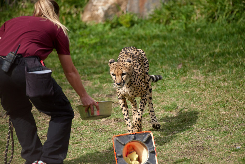 "The cheetah receives it's ""kill"" after the run, a bowl of freshly ground meat and blood."