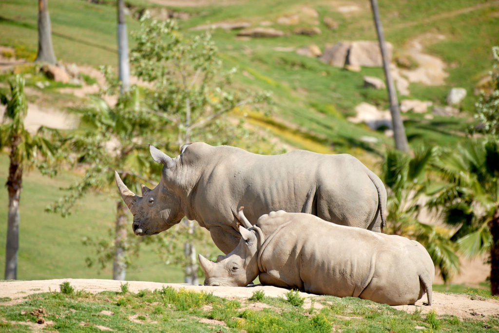 A mother and juvenile rhino hang out in the Safari Park's savanna area.