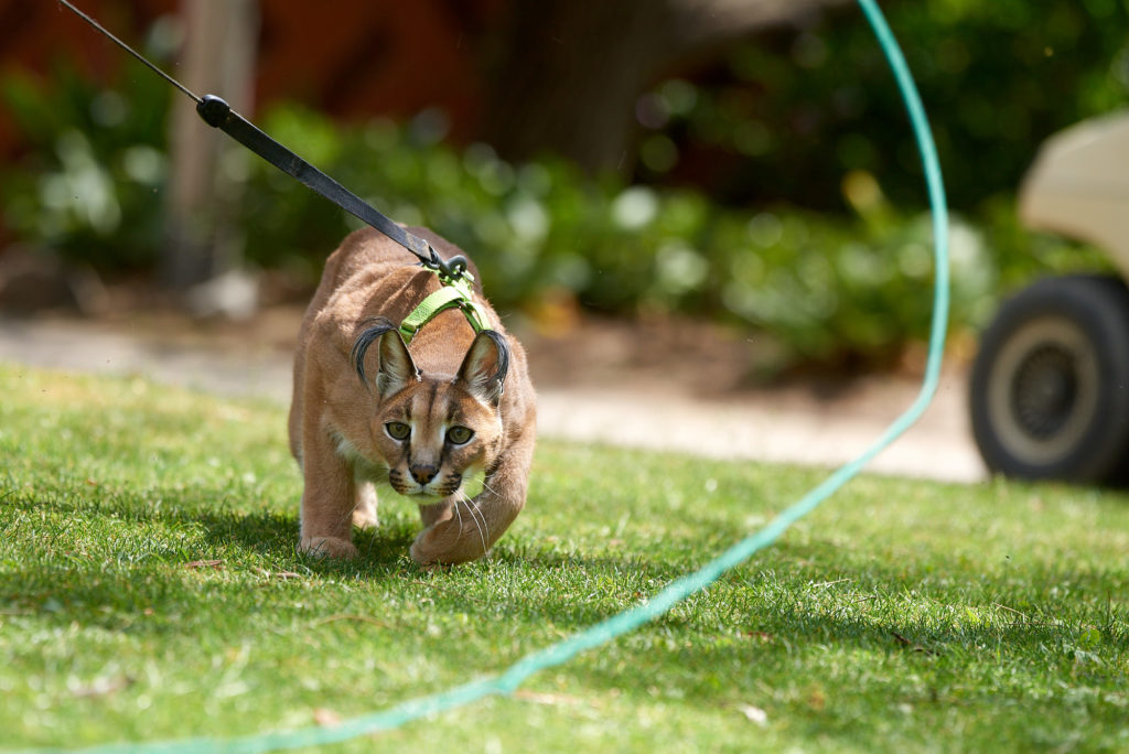 A caracal playing with a toy at an Animal Encounter at the Safari Park.