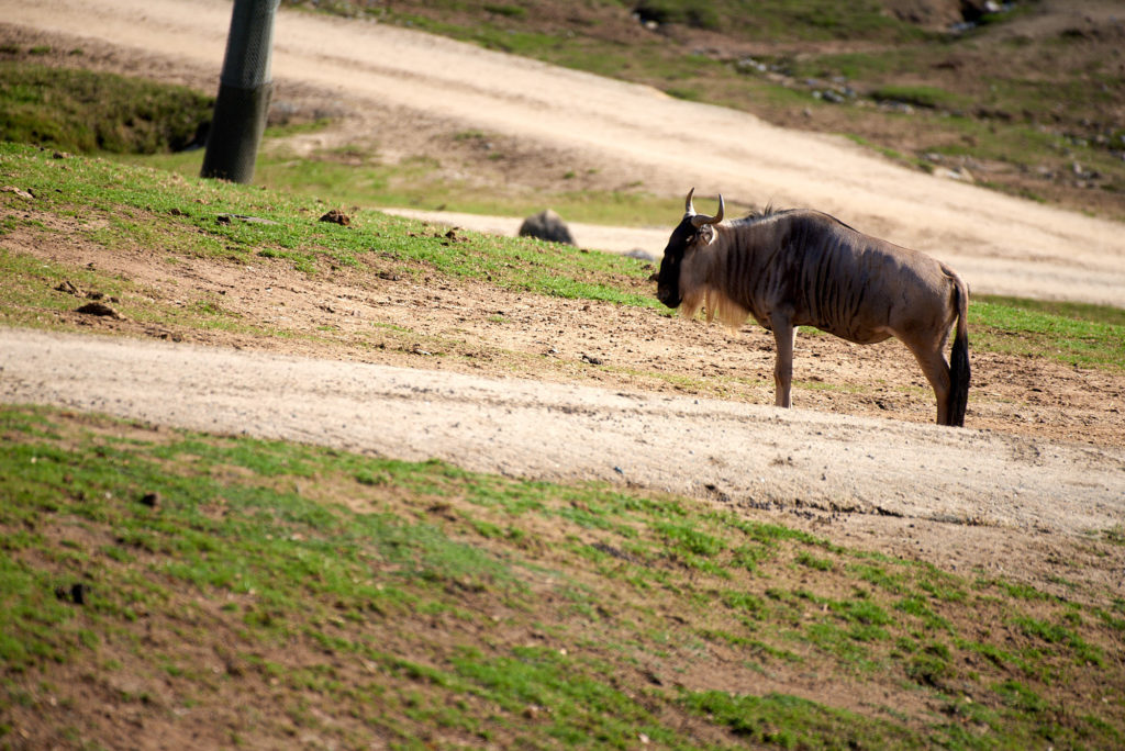 Wildebeest at the safari park.
