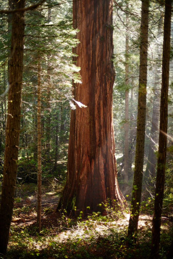 A Giant Sequoia in Merced Grove at Yosemite National Park